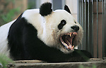 Archieffoto: VidiPhoto<br /> <br /> RHENEN - Ouwehands Dierenpark in Rhenen krijgt twee reuzenpanda's uit China. Dat heeft het park maandag bekend gemaakt. Tijdens het staatsbezoek van  Koning Willem-Alexander en koningin M&aacute;xima heeft de Chinese president Xi Jinping ingestemd met een zo&ouml;logische samenwerking tussen Nederland, met als doe de bescherming van de reuzenpanda. Tussen Ouwehands Dierenpark en de Chinese Wildlife Conservation Association is maandag een samenwerkingsovereenkomst ondertekend. Ouwehands Dierenpark is al ruim vijftien bezig om een of meerdere reuzenpanda's in het park te krijgen. Tussen de de provincie Utrecht en de Chinese provincie Guangdong, waar de panda's vandaan komen, bestaat als sinds 1995 een vriendschapsverdrag. De panda's blijven eigendom van China. Wereldwijd zijn er slechts zeventien dierentuinen met reuzenpanda's omdat er naast het bestaan van vriendschapsbanden, ook een flinke financi&euml;le vergoeding betaald moet worden. Dinsdag maakt Ouwehands meer details van de overeenkomst bekend. In het wild leven er nog slechts 1850 reuzenpanda's.