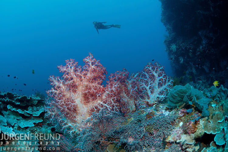 Soft corals (Dendronephthya sp.) in the deep with diver