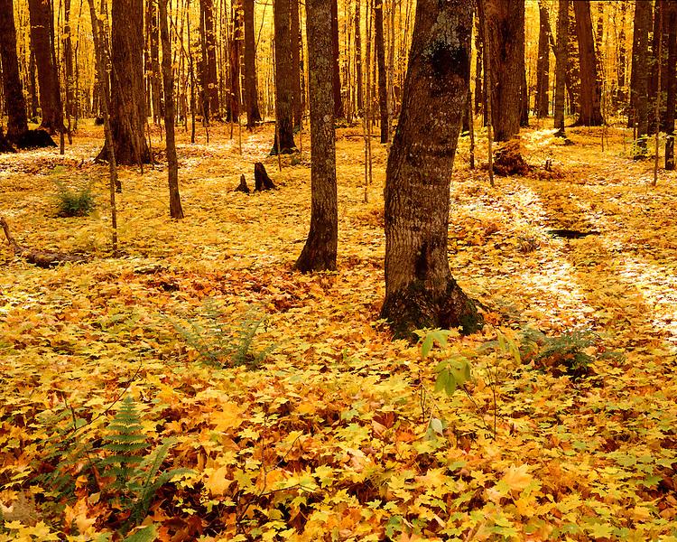 Ottawa National Forest, Gogebic County, Michigan, October, 1991