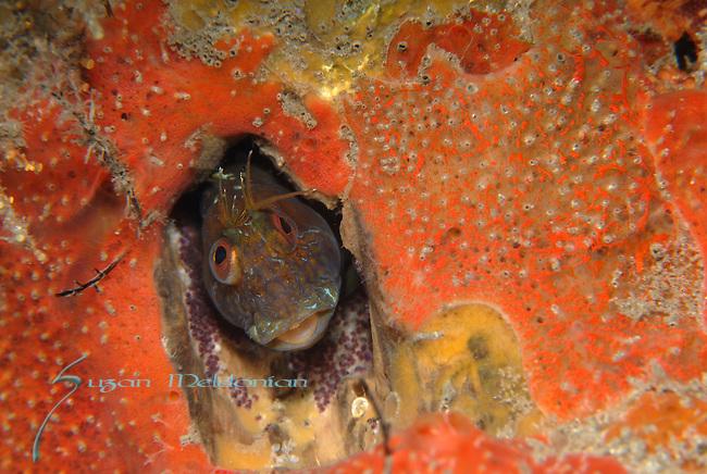 Seaweed Blenny w-Eggs, Parablennius marmoreus