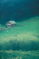 Landscape hillside sheep graze in green pasture