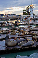 Californian Sea-Lions rest on floating rafts at Pier 39, San Francisco, United States of America