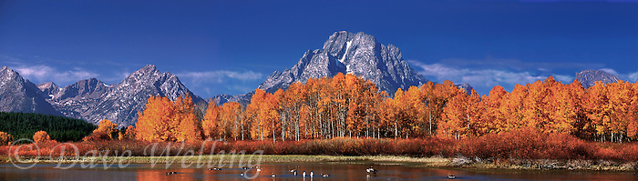 937000009 wild geese swim in the oxbow bend of the snake river below fall colored aspens and mount moran in grand tetons national park wyoming