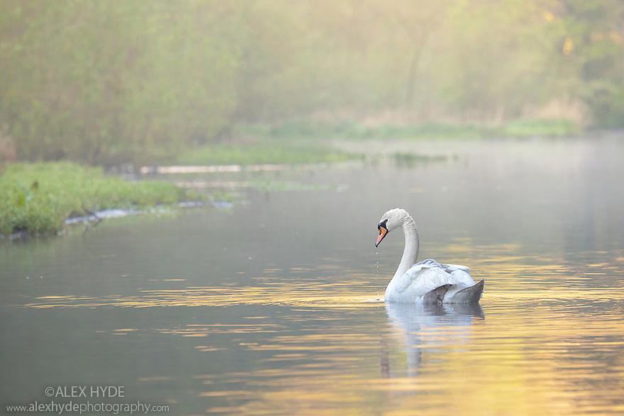 Mute Swan {Cygnus olor} at dawn, Peak District National Park, Derbyshire, UK. May.