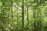 21 mayo 2015. Hayedo de Montejo, madrid. <br /> El hayedo de Montejo es un bosque de hayas de 250 hect&aacute;reas situado en las faldas de la Sierra de Ayll&oacute;n y perteneciente al municipio de Montejo de la Sierra (Comunidad de Madrid, Espa&ntilde;a), al norte de la provincia madrile&ntilde;a y al l&iacute;mite con la provincia de Guadalajara y el r&iacute;o Jarama. Fue declarado Sitio Natural de Inter&eacute;s Nacional en 1974, siendo uno de los hayedos m&aacute;s meridionales de Europa. El microclima existente en la zona debido a la captaci&oacute;n de humedad proveniente de las masas de aire que no chocan contra la Sierra, y el hecho de que la ladera de la colina permanezca en la sombra, han hecho posible que se conserve el hayedo, procedente de Centroeuropa, existente en Montejo desde &eacute;pocas postglaciales. El hayedo representa los restos de la vegetaci&oacute;n caducifolia centroeuropea en Espa&ntilde;a. Es uno de los m&aacute;s estudiados de la Pen&iacute;nsula Ib&eacute;rica, y la gran afluencia de personas ha hecho que las visitas est&eacute;n restringidas. &copy; Pedro Armestre