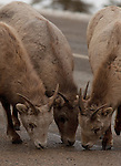 These female bighorn sheep lick the salt from the Icefields Parkway Road in Alberta, Canada.