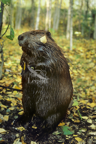 American Beaver (Castor canadensis) in aspen forest.  Fall.