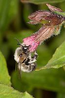 Gemeine Pelzbiene, Pelz-Biene, Frühlings-Pelzbiene, Frühlingspelzbiene, Männchen, Anthophora acervorum, Anthophora plumipes, Blütenbesuch an Lungenkraut, Nektarsuche, Bestäubung, common Central European flower bee