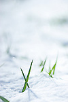 First signs of spring in Colorado, blades of green grass emerging from the snow.