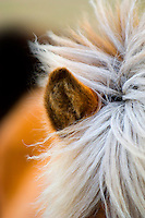 Close up of an ear of a Icelandic horse