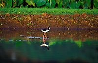 The native endangered Hawaiian stilt or Aeo, found on Kauai