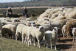 Foto: VidiPhoto<br /> <br /> EDE - Voor het eerst sinds de geboortegolf van 155 lammetjes in februari mocht de schaapskudde op de Ginkelse hei dinsdag weer de hei op. Met de aanwas is dat nu een kudde van 300 dieren. Pas nu is er weer voldoende voedsel te vinden. Doel van de tocht is volgens schaapherder Henk van de Brandhof om lammetjes te laten wennen aan het grazen op de hei en de bijsturing door de honden. Ook de honden moeten weer wennen aan de kudde. De jonge rammen van de bekendste kudde van Nederland worden geruild met andere schaapskudden om inteelt te voorkomen, een deel wordt verkocht en de andere lammetjes worden gebruikt voor uitbreiding van de kudde. Jaarlijks trekt de schaapskudde op de Ginkelse hei tienduizenden bezoekers, mede omdat de schaapskooi langs de zeer drukke N224 (Arnhem-Ede) ligt. De kudde wordt financieel in stand gehouden door gemeente, provincie, organisaties en bedrijfsleven, maar dat is volgens Van de Brandhof bepaald geen vetpot. &quot;Het is enorm frustrerend als je steeds om geld moet vragen, terwijl je op sommige dagen van 's morgens vroeg tot 's avonds laat wel bezig bent om de honderden gasten te woord te staan.&quot;