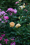 Summer roses in bloom in a memorial rose garden in Saugatuck, Michigan, USA