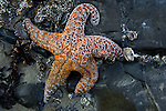 Starfish at low tide in Ecola State Park in Oregon