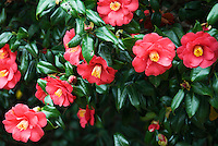 Winter blooms that carry autumn into spring, camellia bushes are all glossy  leaves and bright flowers, a Japanese brocade in flower form.<br />
