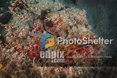 25 January 2016:  A Scorpionfish (Scorpaena scrofa) is well camouflaged as it rests on the reef at Captain Don's Habitat in Bonaire. Bonaire is known for its pioneering role in the preservation of the marine environment. A part of the Netherland Caribbean Islands, Bonaire is located off the coast of Venezuela and offers excellent scuba diving, snorkeling and windsurfing.  Mandatory Credit: Ed Wolfstein Photo *** RAW (NEF) Image File Available ***