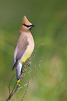 Cedar Waxwing perched on a thorny branch