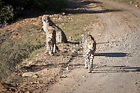 A mother Cheetah and her two cubs on the Shamwari Game Reserve, Grahamstown, Eastern Cape, South Africa (Wednesday July 22, 2009).   Photo: joliphotos.com