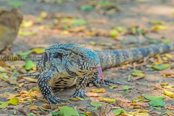 Argentine Black and White Tegu (Salvator merianae), Pantanal, Brazil.