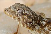 Socotran Leaf-toed Gecko (Haemodracon riebecki), endemic to Socotra, Yemen.