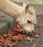 """Iggy"" the Alpaca taking a snack from leaves outside it's pen at Holtsville Park in Holtsville in November, 2007. Photo by Jim Peppler. Copyright Jim Peppler/2007."