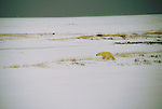 Polar bear walks across snowy tundra into the wind at Hudson Bay, Manitoba, Canada.