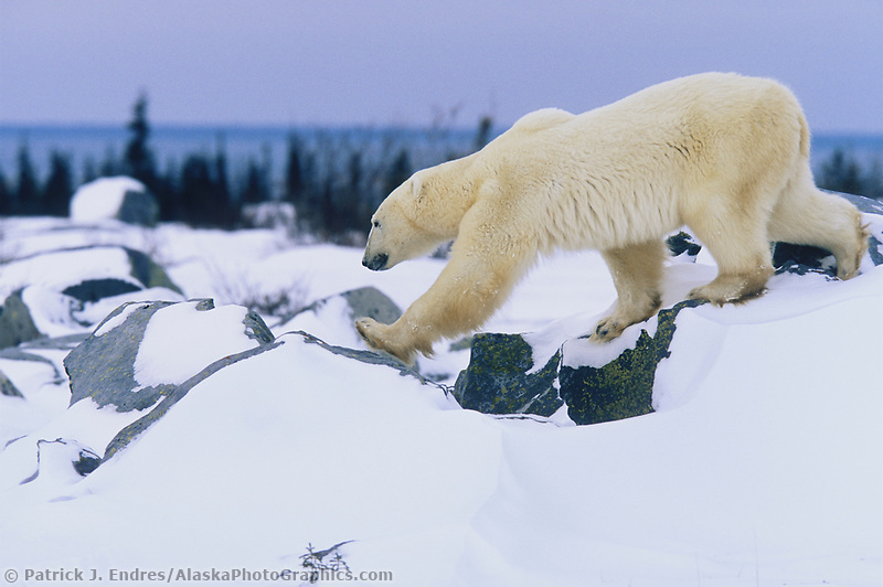 Male Polar bear walks along the Canadian Shield rock along the Hudson bay in Churchill, Manitoba, CANADA