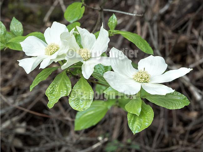Three dogwood flowers blooming near Tiger Creek Reservoir, Amador County, Calif.