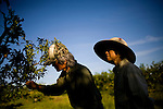 Tosh and Christine Kuratomi inspect trees at Otow Orchard in Granite Bay, CA May 4, 2010.
