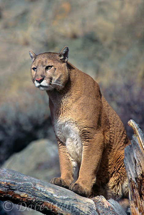 656326417 a captive mountain lion felis concolor watches over his domain from a large tree branch in central montana