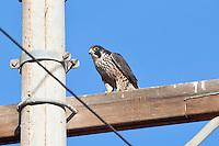 Peregrin Falcon immature, San Quintin, Baja, Mexico