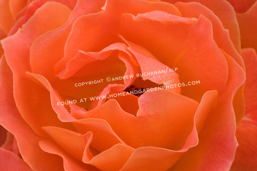a close up detail shot of a vibrant orange red rose, its wavy rippled petals speckled with drops of dew, filling the frame with an explosion of vibrant color
