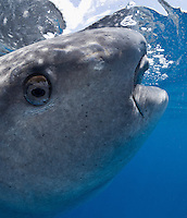 RX4430-Dv. Whale Shark (Rhincodon typus), note how far forward eye is positioned, very close to mouth. Eye can rotate like that of a chameleon, and it retracts for protection when threatened. Gulf of Mexico, Mexico, Caribbean Sea. Cropped to vertical from native horizontal format.<br /> Photo Copyright &copy; Brandon Cole. All rights reserved worldwide.  www.brandoncole.com