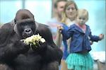 Foto: VidiPhoto<br /> <br /> RHENEN - Verse groenten en kruiden en eigen tuin. Enkele minuten geleden geplukt en vervolgens direct genuttigd door de gorilla's van Ouwehands Dierenpark. De mensapen mochten dinsdag als eerste proeven van de nieuwe groenten- en kruidentuin van de Rhenense Dierentuin. Ouwehands is de eerste Nederlandse dierentuin die zelf gezonde producten teelt als voedsel voor voornamelijk de dieren. Gorilla's zijn dol op selderij, bieslook en salie. In de natuur eten apen ook verschillende kruiden die een medicinale werking hebben en onder andere darmklachten tegengaan of preventief tegen bepaalde aandoeningen werken. In de moestuin zijn voornamelijk 'vergeten groenten' te vinden, courgettes en komkommers. Het is de bedoeling dat de gorilla's gemiddeld iedere week een maaltje uit eigen tuin krijgen.