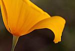 Single Mexican Gold Poppy, Eschscholtzia mexicana) on the Pipeline Canyon Trail, Lake Pleasant Regional Park, Arizona, USA