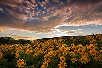 A blanketed hillside of yellow balsomroot, aka mule ear, wildflowers as the sun sets in East Canyon of the Wasatch Mountains near Salt Lake City, Utah.