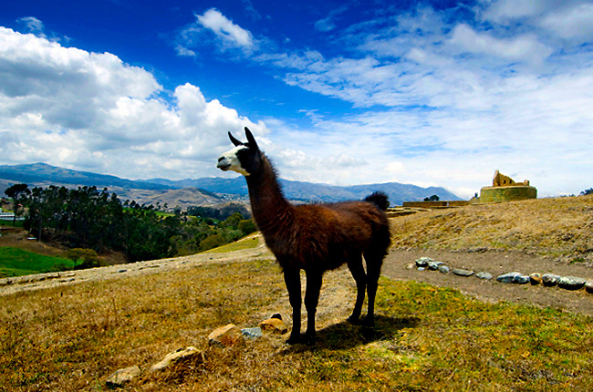 Llama stands guard over the Inca ruins of Ingapirca, Ecuador's most famous Inca site and a UNESCO World Heritage Trust Site.