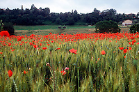 POPPIES - PAPAVERACEAE FAMILY<br /> Poppy Field<br /> Tuscany region, Italy