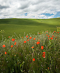 Poppies growing alongside the agricultural fields in the Palouse Valley