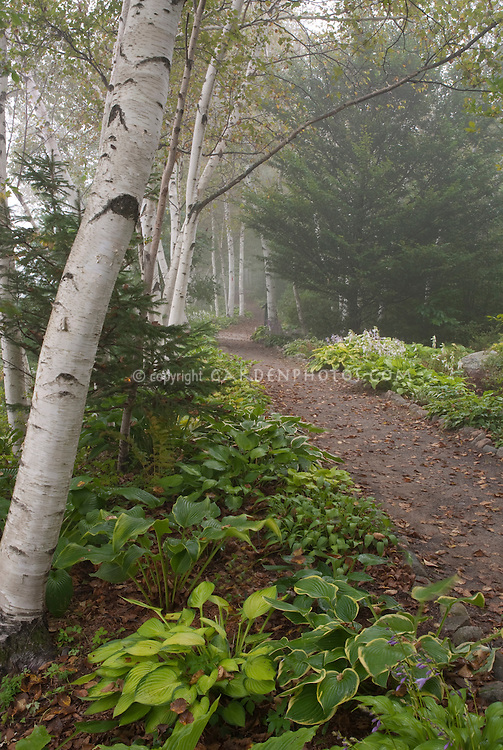 Birch trees, path, hosta perennials, shade garden