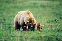 Sow and spring cub grizzly bear playfully interact on the summer green tundra in Denali National Park, Alaska