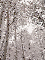 Aspens & Snow