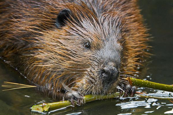 Beaver (Castor canadensis) chewing alder bark, autumn, Nova Scotia, Canada.