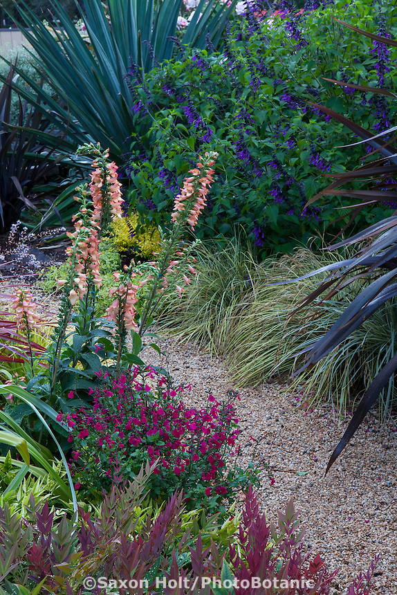Digitalis Digiplexis® 'Apricot' flowering perennial in border with Salvia microphylla 'Killer Cranberry' and Nandina 'Obsession '; Sunset Plants