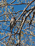 Northern Flicker Woodpecker ina tree near the shore of Lake Nokomis