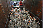 Foto: VidiPhoto<br /> <br /> LANGERAAR - Bijna 900 grauwe ganzen gaan maandag onder de rook van Schiphol aan het gas, waarna ze binnen een minuut overlijden. Het is inmiddels de enige manier om de veiligheid van het luchtverkeer te kunnen garanderen. Rond Schiphol ontstaan door de enorme aantallen ganzen onveilige situaties voor het vliegverkeer. De volledig uit de hand gelopen situatie in Nederland is volgens deskundigen ontstaan doordat de overheid de natuurorganisaties en dierenrechtenclubs hun zin gaf met drastische beperking van de jachtmogelijkheden op ganzen. Met als gevolg dat de ganzenpopulatie volledig ge&euml;xplodeerd is. Het is nu noodzakelijk om honderdduizenden ganzen te doden om in Nederland tot een aanvaardbare ganzenstand te komen. De miljoenen ganzen zorgden in Nederland in 2014 voor een uitgekeerd schadebedrag van 14,5 miljoen euro. De werkelijke schade voor de land- en tuinbouw, wordt geschat op meer dan 25 miljoen euro per jaar. Het vee wil het met ganzenpoep besmeurde gras niet meer vreten. Door de enorme hoeveelheid uitwerpselen van deze vogels is ook de voedselveiligheid in het geding. Dankzij een volledige winterrust en voldoende voedsel gaan de ganzen in het voorjaar niet meer terug naar de Poolstreken en Siberi&euml;. De overheid heeft inmiddels toestemming gegeven om per 1 juni in heel Nederland ganzen te doden met CO2-gas. De maandag gevangen dieren worden door een poeliersbedrijf verwerkt. De karkassen gaan naar een roofdieropvang. Van de veren worden dekbedden gemaakt.