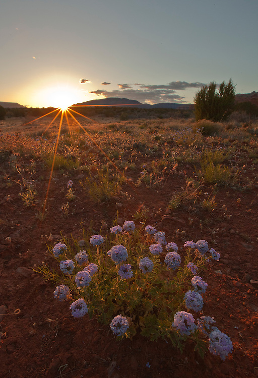 Goodding's verbena (Glandularia gooddingii) blooms near Red Canyon at sunset