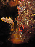 Kenting, Taiwan -- Scorpionfish on rock