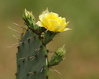 The prickly pear cactus was designated the official plant symbol of Texas in 1995. Found in the deserts of the American southwest, the fruits of most prickly pear cacti are edible, and have been a source of food to native Americans for thousands of years