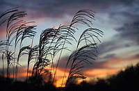 Maiden Grass against Autumn Sunset